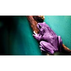 Tablou Canvas Animale Craiova -  Broasca purpurie- Persona Design