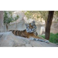 Fototapet Animale Personalizat - Tigrul