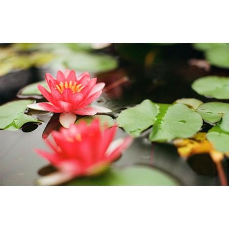 Fototapet Natura Personalizat - Lotus Rosu