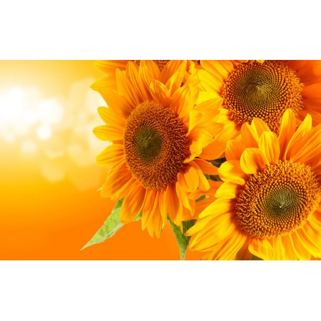 Fototapet Natura Personalizat - Floarea Soarelui