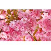 Fototapet Natura Personalizat - Flori de Cires