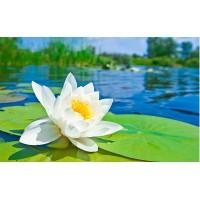Fototapet Natura Personalizat - Lotus Alb