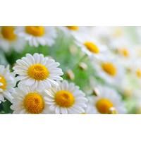 Fototapet Natura Personalizat - Flori de musetel
